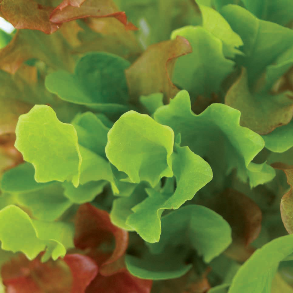 Mixed-Bibb-Lettuce